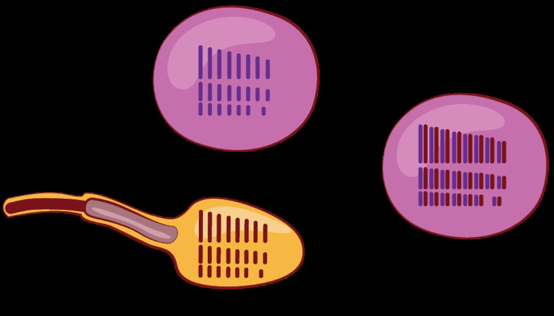 enterobaktériumok a férfiak kenetében