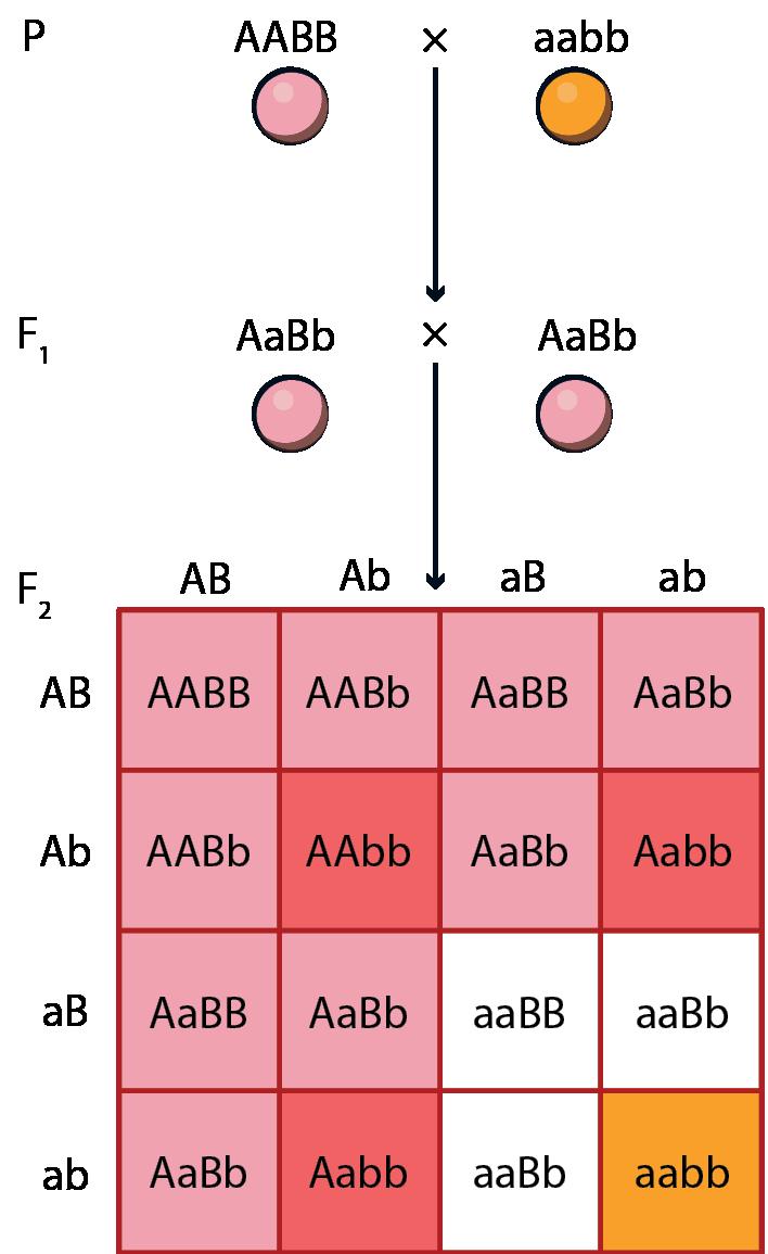 a magas vérnyomást a domináns gén határozza meg táplálkozás és a magas vérnyomás kezelési rendje
