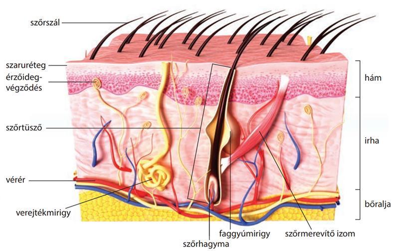a bőr felrepedezik az erekció során