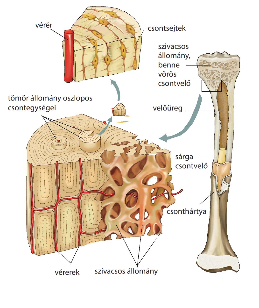 fáj a csontok ízületei