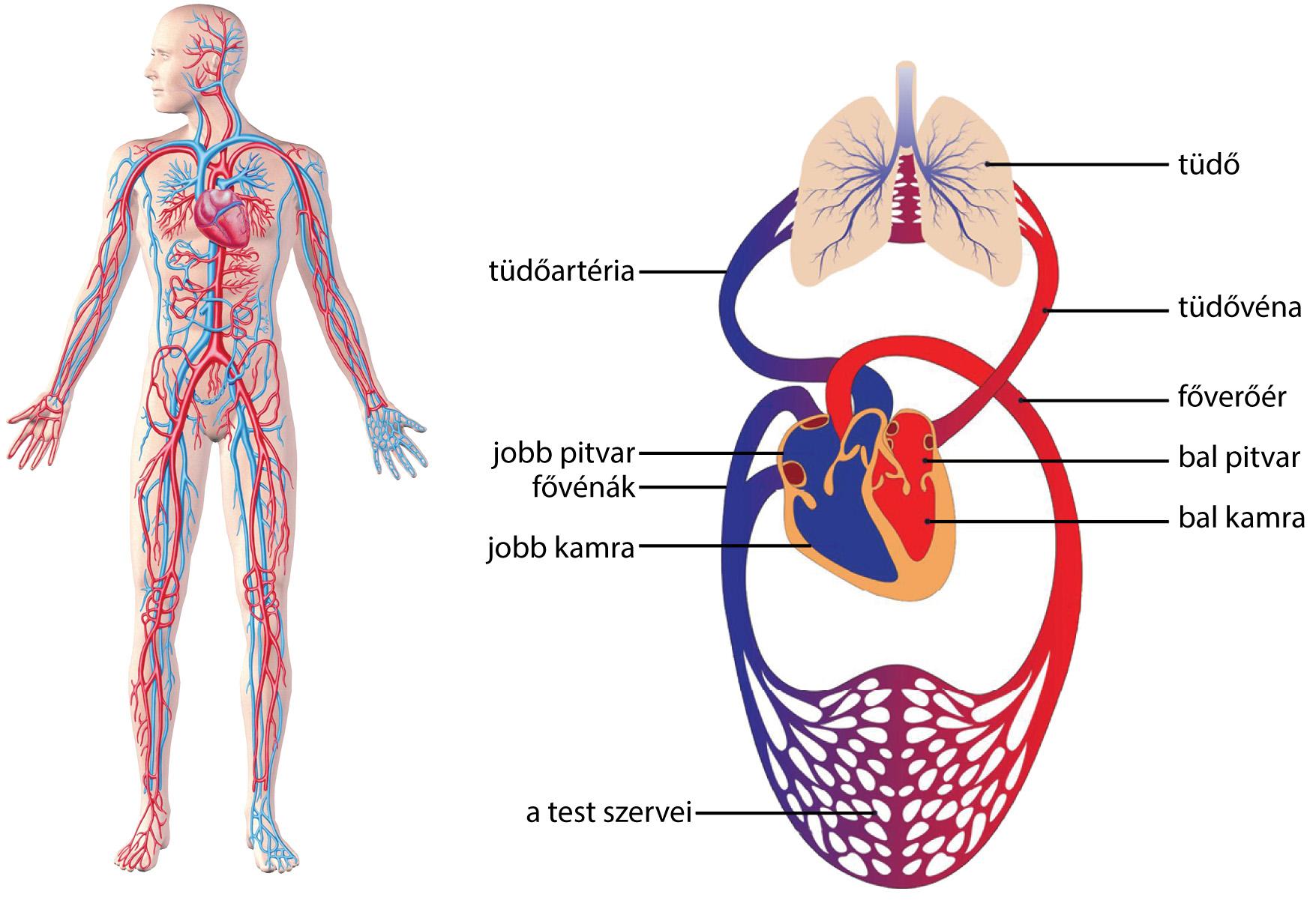 Tüdő elhelyezkedése az emberi testben