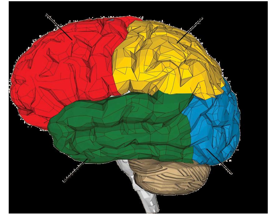 látás az agy melyik részén