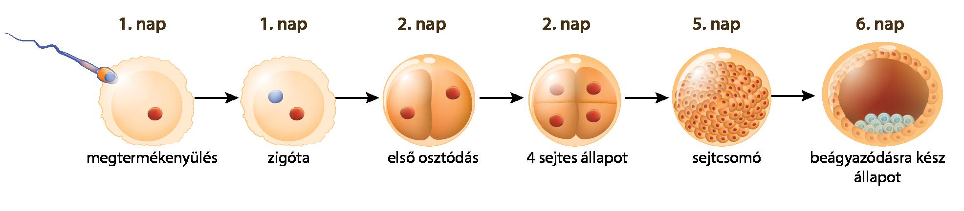 Méhen belüli fejlődés részei