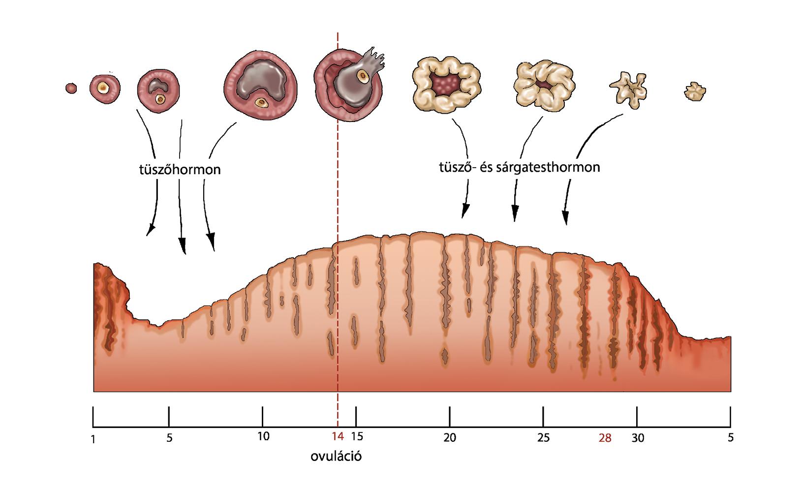 petesejt enterociosis és protozoonok