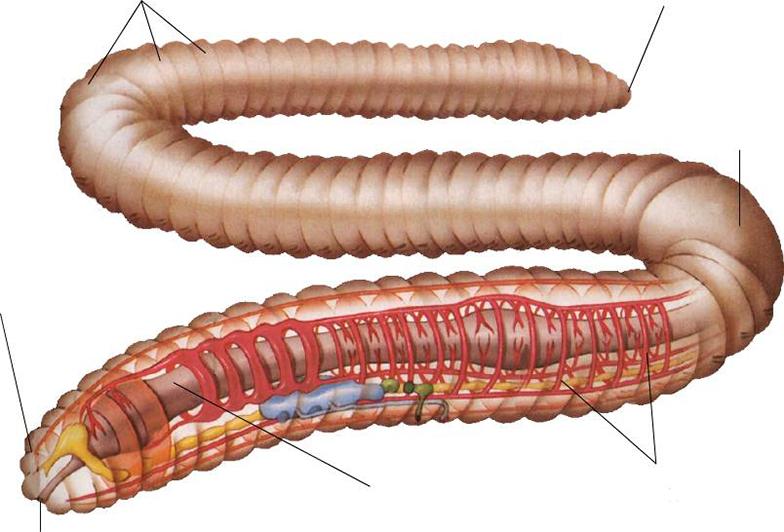 az emberi földigiliszták fajtái krioterápiás szemölcsök